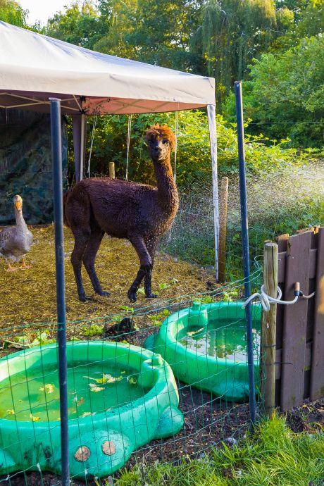 Appie de alpaca doucht het liefst elke dag