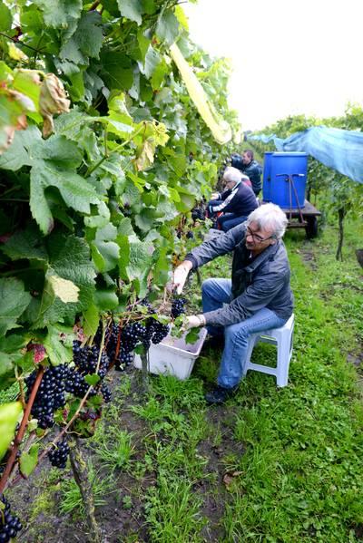 Gezocht: opvolger voor wijngaard De Linie in Made