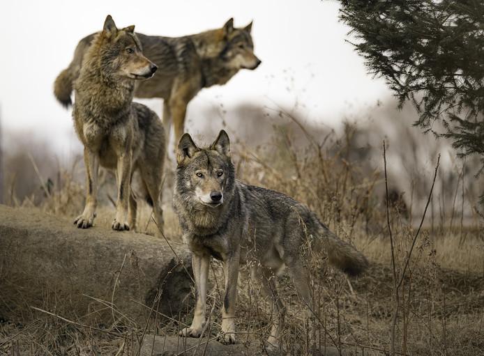 Een roedel wolven. Foto ter illustratie.
