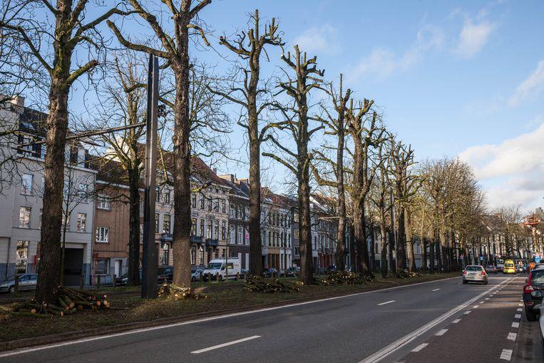 Een rij kastanjebomen zonder kruin.