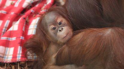 """Orang-oetanbaby gestorven in Pairi Daiza: """"Dit komt hard aan, ook bij z'n moeder"""""""