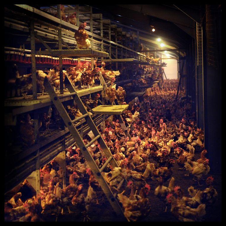 Een megastal in Moergestel Moergestel, waar de kippen nooit daglicht zien. Beeld null