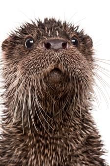 Otter dood in klem voor muskusrat