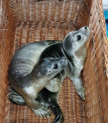 Drukte bij zeehondenopvang A Seal