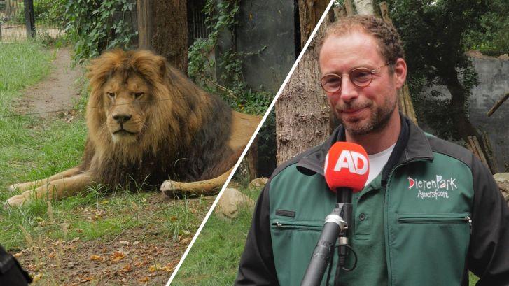 Nieuwe leeuw Ramzes in Dierenpark Amersfoort