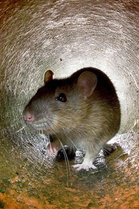 Tilligte wordt geteisterd door ratten