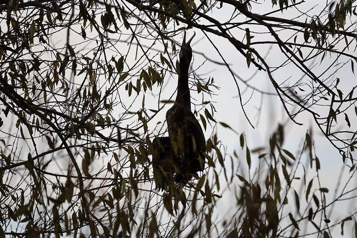 Een aalscholver raakte verstrikt in een boom door een een vislijn om zijn snavel.