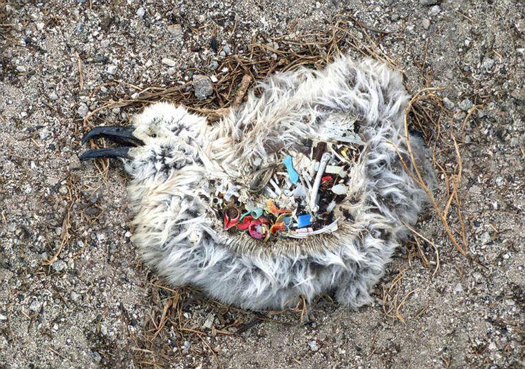 Beeld van een albatroskuiken met plastic in de maag uit een documentaire over de impact van plastic op de oceaan.  Beeld
