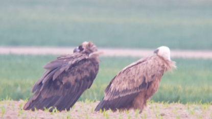 Uitzonderlijk: twee gieren rusten uit in Limburgs dorp