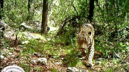 """""""Tragedie"""": een van allerlaatste in het wild levende jaguars in VS gedood en gevild"""