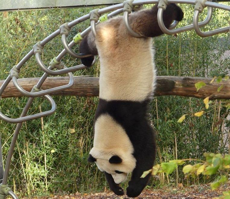 Panda Tian Bao in Pairi Daiza