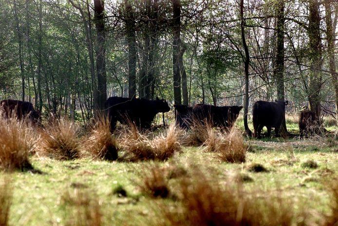 Koeien grazen op landgoed Oostbroek in De Bilt. GroenLinks in De Bilt wil niet dat er een tram door het landgoed gaat rijden.