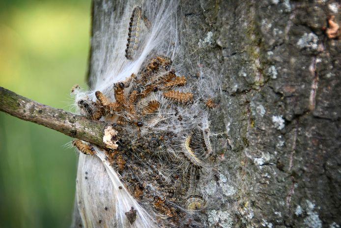 Nest met eikenprocessierupsen