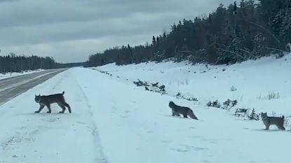 Man filmt zeldzaam natuurfenomeen: lynx helpt haar welpjes over besneeuwde weg