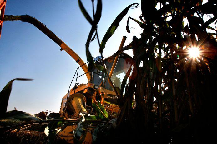 Op de hoger gelegen akkers tussen Someren en Lierop hakselt loonwerker Sonnemans tientallen hectaren maïs (archieffoto).