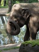 Olifant Rekka in Arnhem is ziek, maar Burgers' Zoo hoopt dat ze nog een aantal jaar blijft leven.