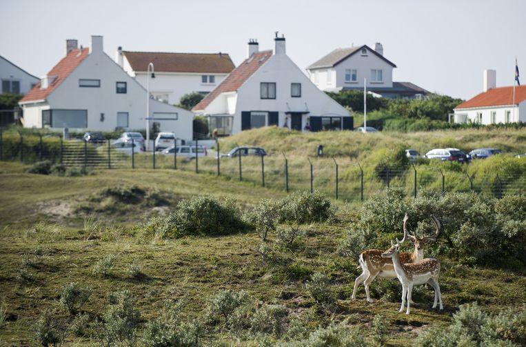 Twee damherten voor de bebouwde kom in Zandvoort. Beeld Anp