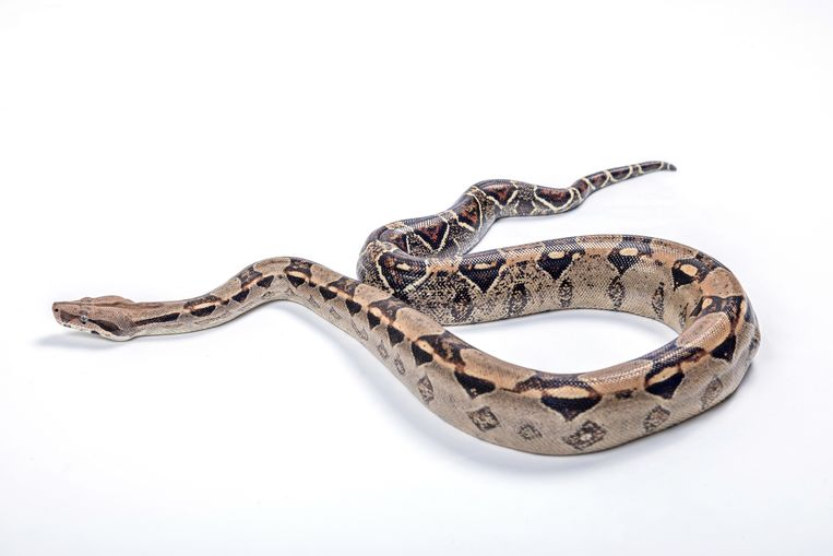 Boa constrictor. Beeld Getty