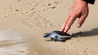 """""""Toch iets positief aan die hele Covid-situatie"""": schildpadjes hebben de plek van toeristen ingenomen op Thaise stranden"""