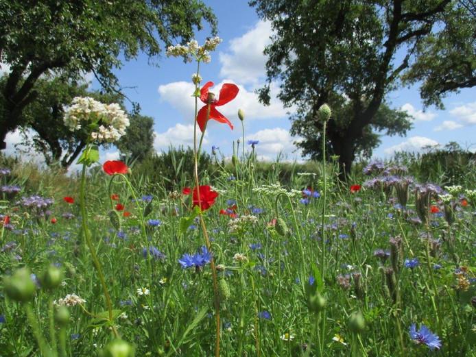 Deze bloemen zijn speciaal geplant voor de bijen. Ze staat op een veld naast Werk aan de Groeneweg in Schalkwijk.