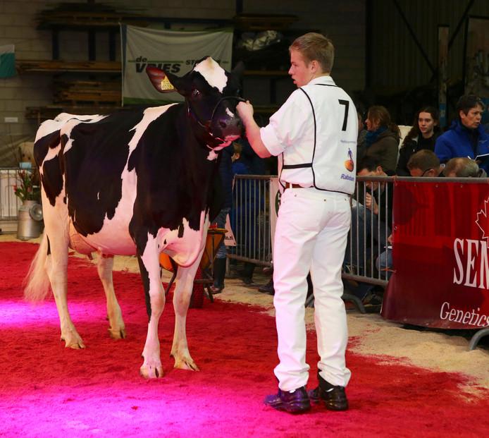 Zo'n honderd koeien werden zaterdag gekeurd tijdens de 21ste Wintershow Zuid-Holland.