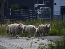 Tiental schapen ontsnapt in Vroomshoop: één schaap raakte gewond