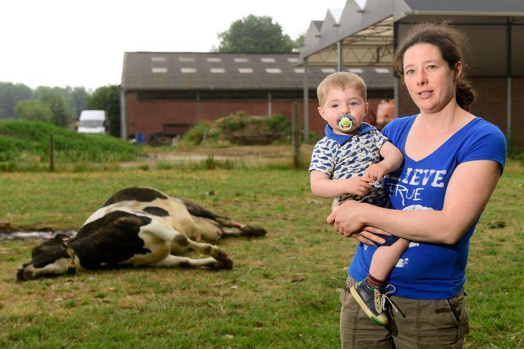 Een van de koeien van boerin Heidi Goosens overleed vannacht het slachtoffer, mogelijk na een aanval van een wolf