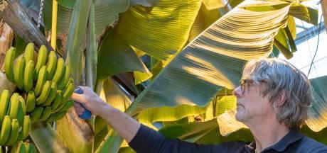 De banaan is nu ook een Wagenings streekproduct