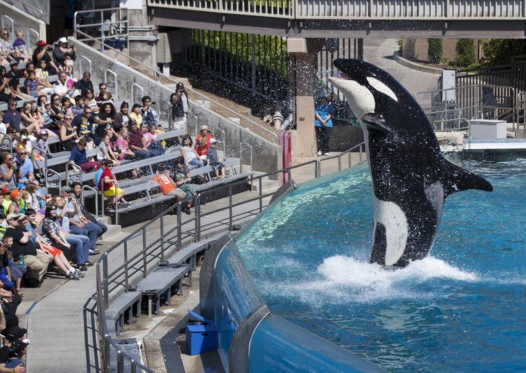 Een orka in het SeaWorld-park in San Diego. Beeld reuters