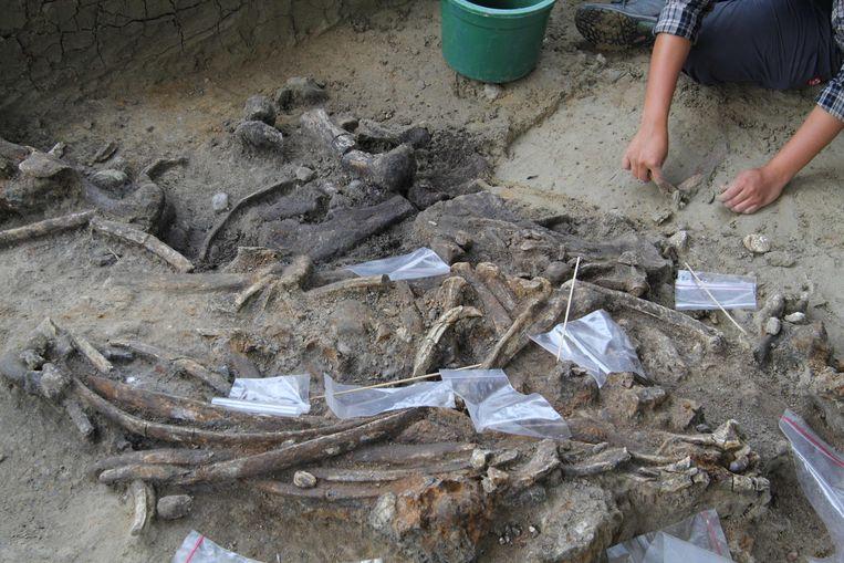De botten van een neushoorn, die 700.000 jaar oud zouden zijn. Detail: op de botten zijn sporen van stenen werktuigen gevonden. Beeld AFP