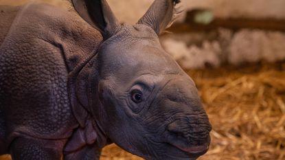 Heuglijk nieuws vanuit Planckendael: neushoorn Karamat zet flinke dochter op de wereld