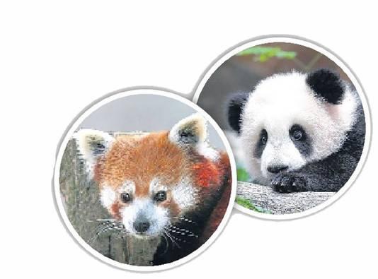 Er zijn twee soorten panda's: de kleine of rode panda (links) en de reuzenpanda