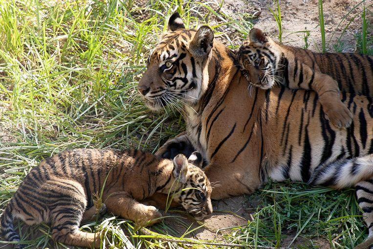 Zeldzame Sumatraanse tijgers. Volgens het WNF is de omvang van populaties zoogdieren, vissen, vogels, reptielen en amfibieën flink afgenomen. Beeld AP