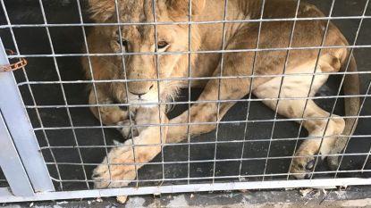 Nederlandse militaire agenten zien verwaarloosde leeuw op markt in Bagdad en zetten alles op alles om hem vrij te kopen