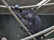 Un nouvel enclos cinq fois plus grand pour les bonobos de Planckendael