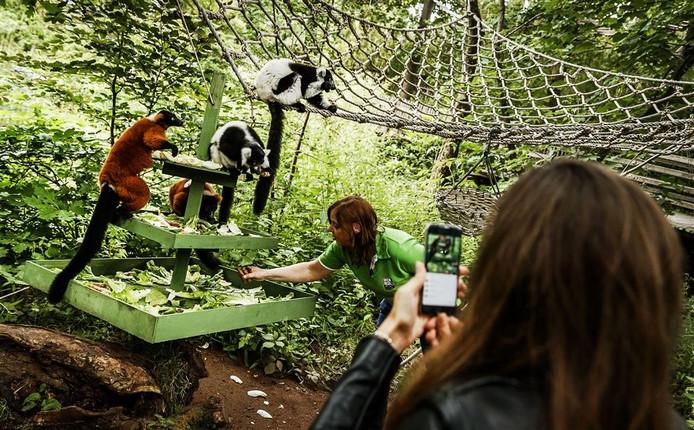 De apen kregen vanmorgen speciale apentaarten bij de verjaardag van het park. Foto: ANP