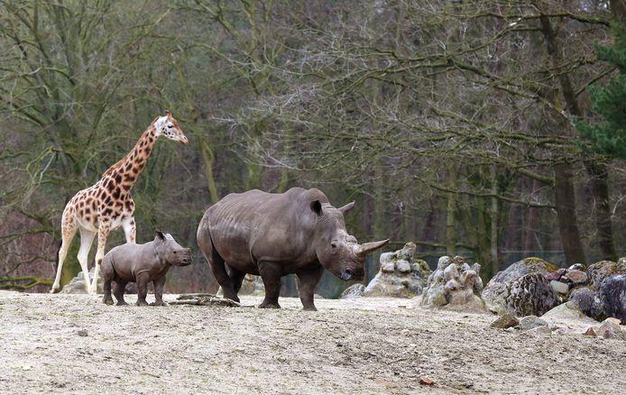 Neushoorns en een giraffe in Burgers' Zoo.