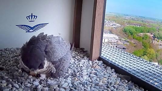 Trotse ouder op het nest, onder de vogel is net stukje valkje en eitje te zien