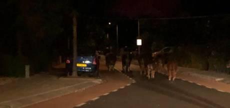 Koeien op de weg in Wateringen: 'Een melding die de nacht net even wat anders maakt'