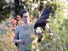 Havik blijft dag weg na wegvliegen tijdens vogelshow in Grave