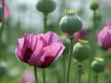 Op zoek naar samenspel in de tuin? Denk aan de opiumpapaver