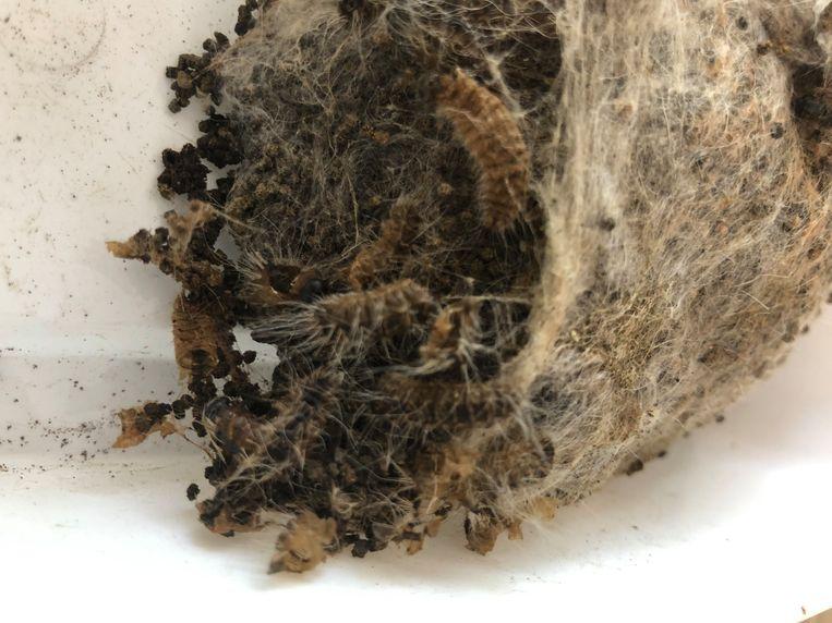 Een behandeld nest dat na één dag al dode rupsen en afgestorven eitjes liet zien toen het werd opengescheurd.