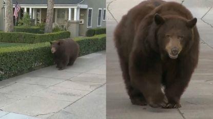 Bizar: wilde beer maakt rustige ochtendwandeling in woonwijk