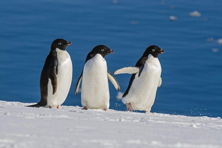 Adeliepinguïns op Antarctica