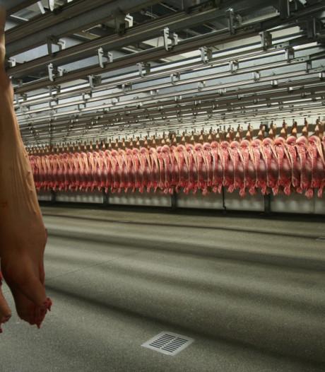Belgische varkens misschien preventief gedood vanwege varkenspest