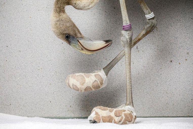 Caribische flamingo met de geïmproviseerde sokken om ernstige voetlaesies te genezen Beeld Jasper Doest