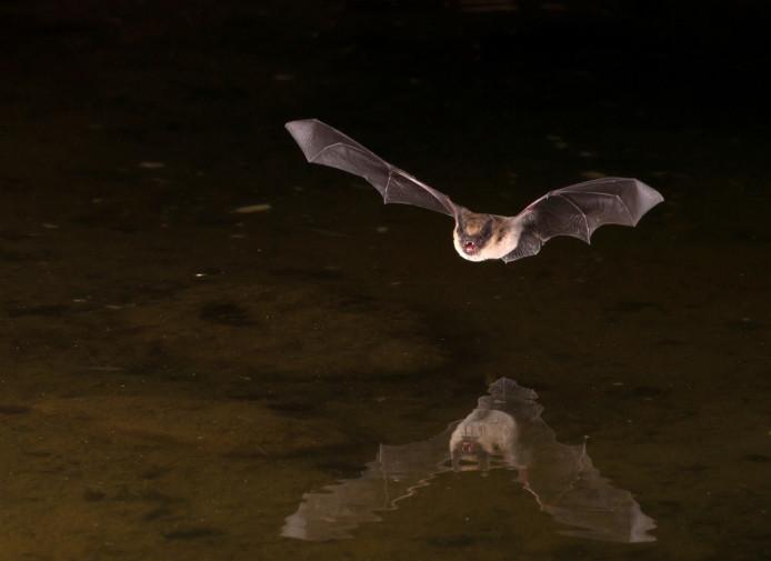 Afbeelding van een vleermuis ter illustratie.