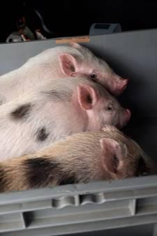 Dierenambulance vangt drie gedumpte hangbuikzwijntjes in Putten