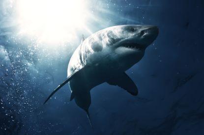 Maak plaats voor de échte baas: grote witte haai dan toch niet de koning van de oceaan?