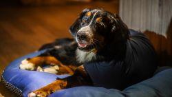 Luna breekt poot na aanrijding op Expresweg: baasjes zoeken vrouw die hond hielp op pechstrook